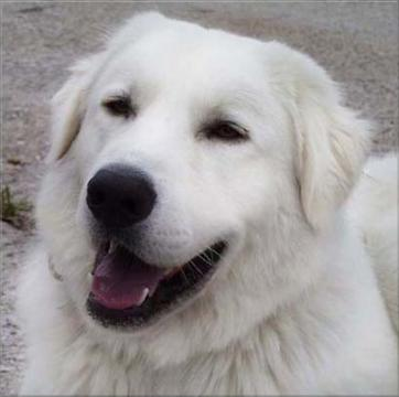 funny Akbash dog
