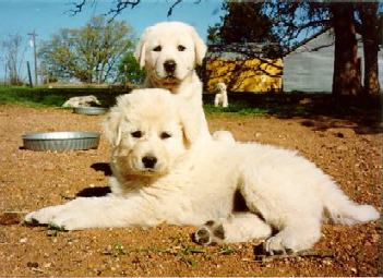 Akbash puppy
