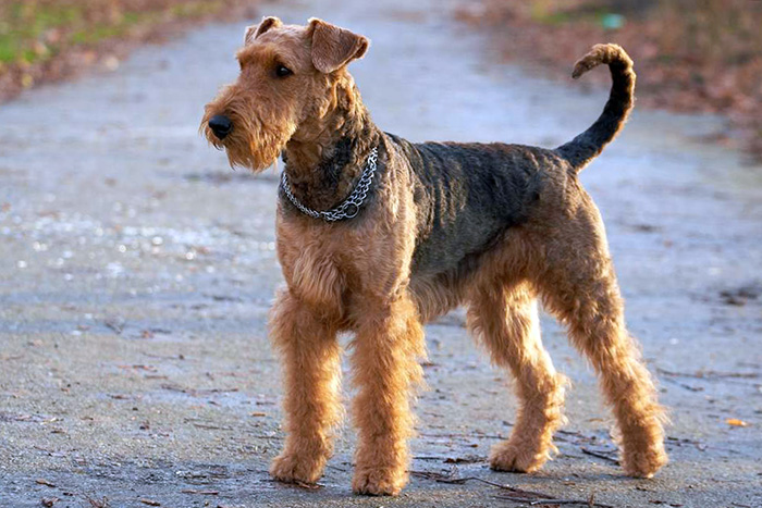 Airedale Terrier breed  Photos, temperaments and trivia about the breed