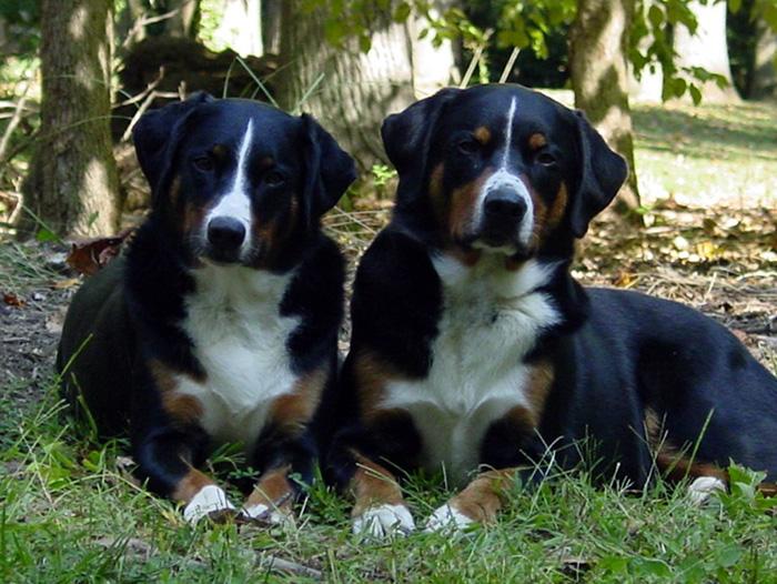 Appenzeller Sennenhund family