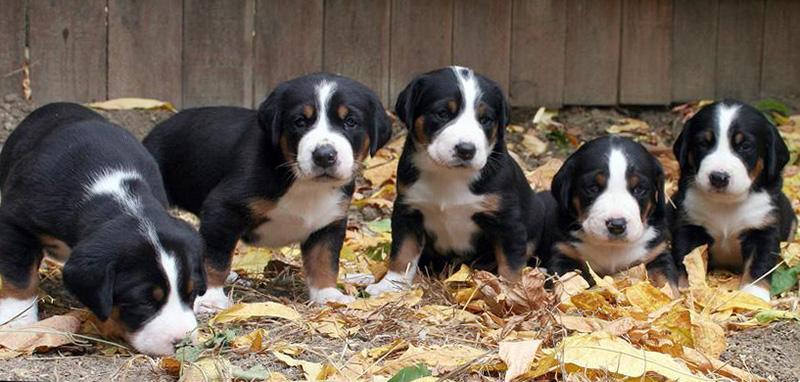 Appenzeller Sennenhund Breed Photos Temperaments And