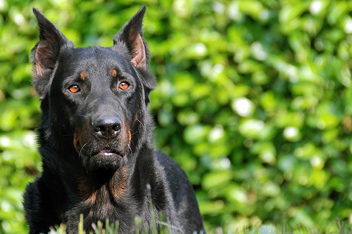 Beauceron dog breed image