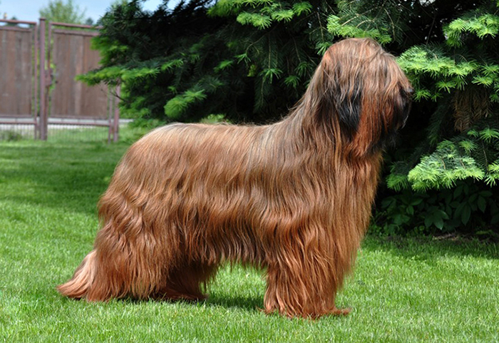Briard dog female