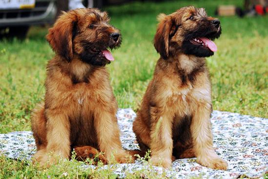 Briard puppies