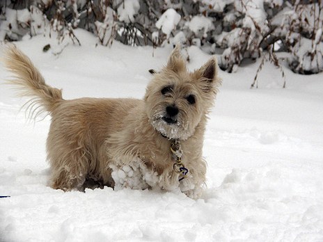Cairn Terrier in action