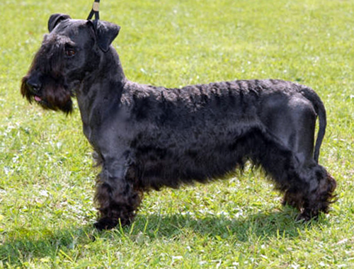 Cesky Terrier breed
