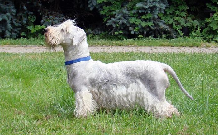 Cesky Terrier dog image