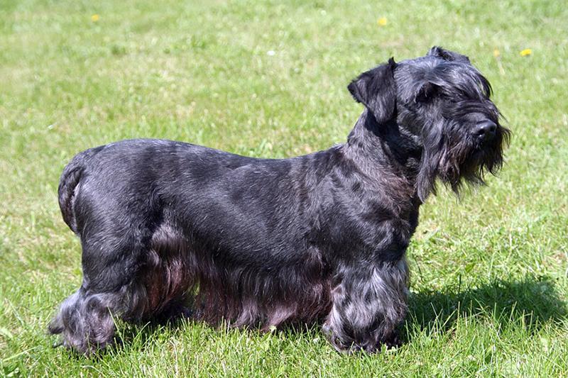 Cesky Terrier male