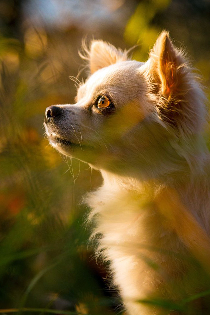 Chihuahua female