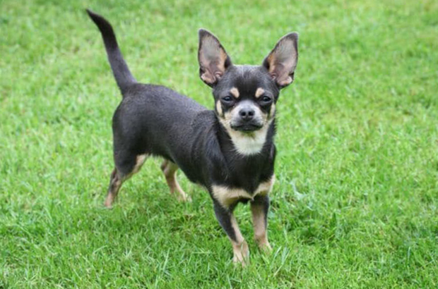 chihuahua dog breed photos temperaments and trivia about the breed
