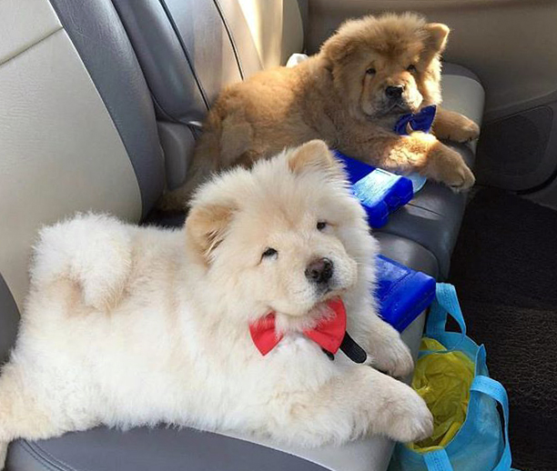 chow chow breed photos temperaments and trivia about the breed