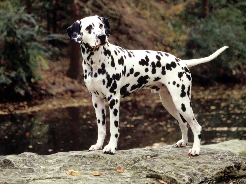 Dalmatian dog male