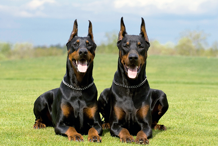 Dobermann Breed Photos Temperaments And Trivia About