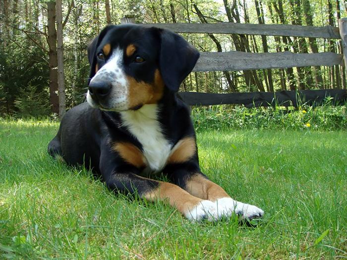Entlebuch Cattle Dog on grassy field