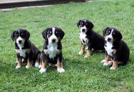 Entlebuch Cattle Dog puppies