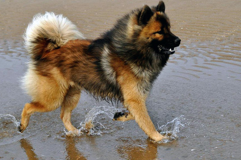 Eurasier Dog Breed | Photos, temperaments and trivia about ...
