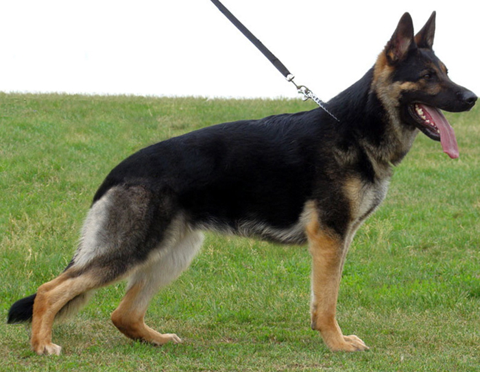 German Shepherd dog female
