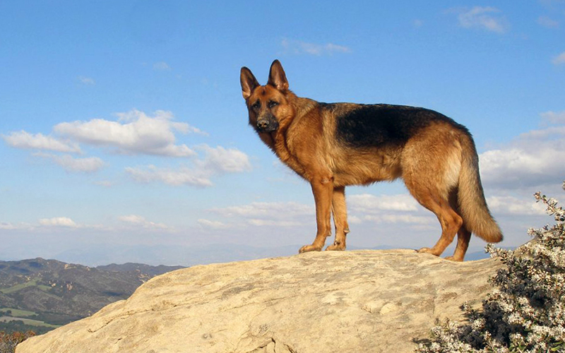 German Shepherd on the rock