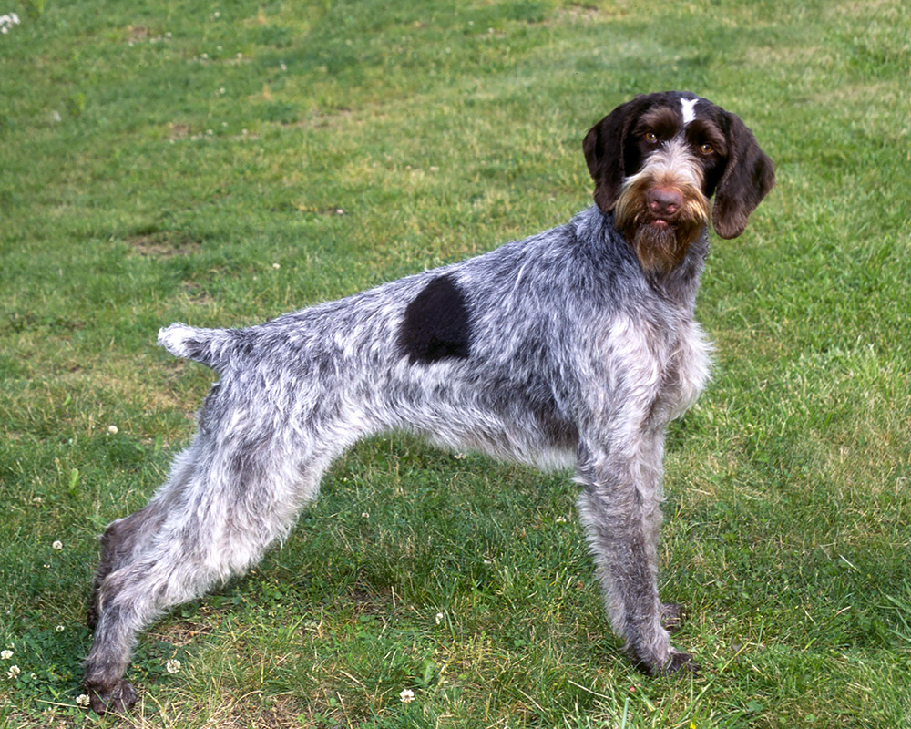 German Wirehaired Pointer dog photo