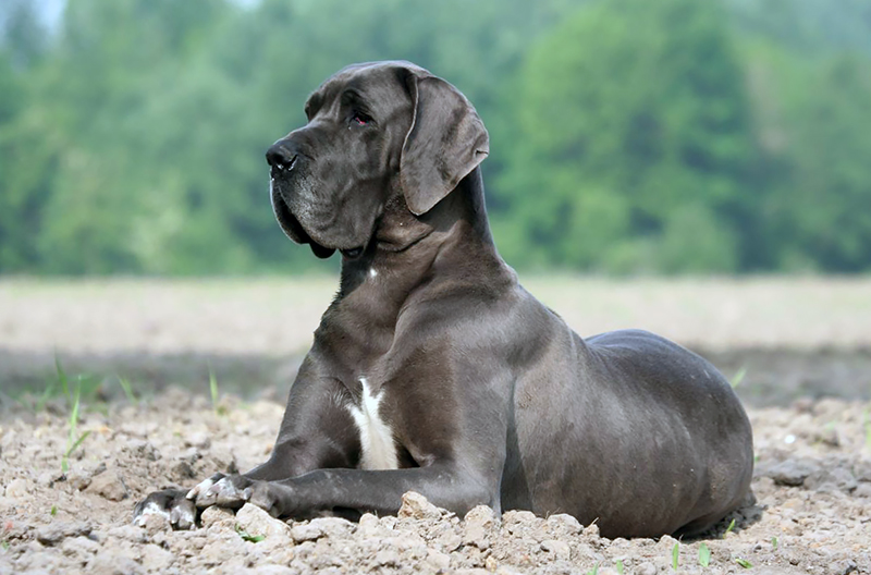Great Dane Breed Photos Temperaments And Trivia About