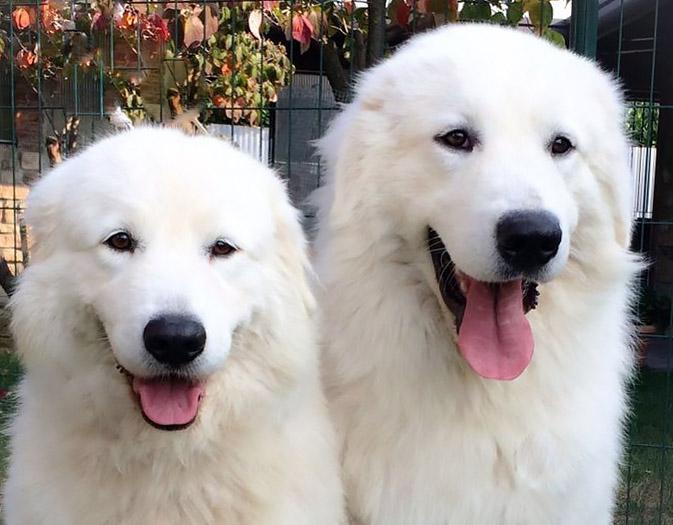 Great Pyrenean Mountain Dog family