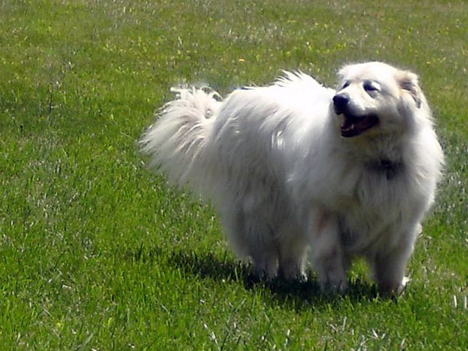 Great Pyrenean Mountain Dog female