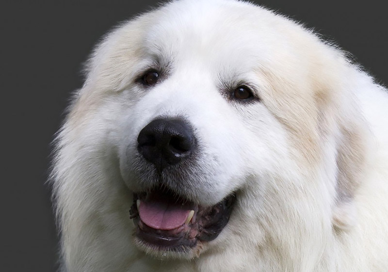 Great Pyrenean Mountain Dog portrait