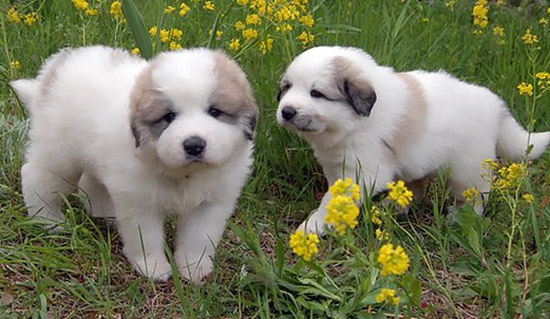 Great Pyrenean Mountain Dog puppies