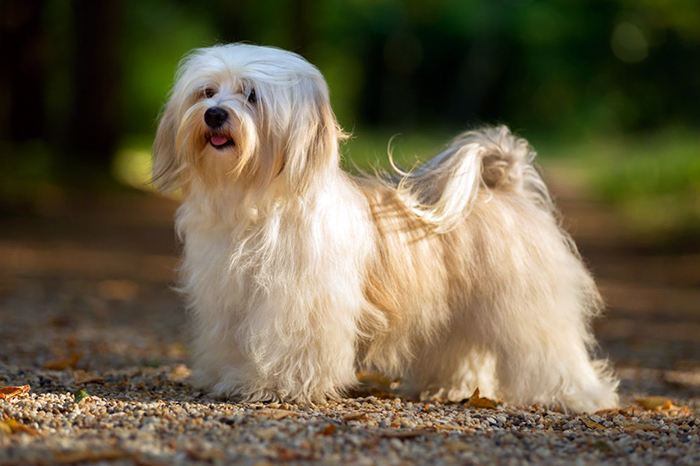 havanese dog breed photos temperaments and trivia about the breed