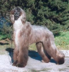 Afghanischer Windhund im Wald