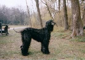 Afghanischer Windhund Rüde im Wald