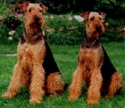 Airedale Terrier im 2er Pack