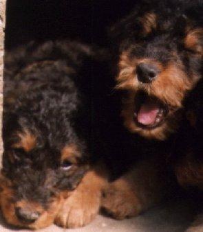 Airedale Terrier Welpen Bilder