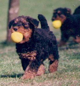 Airedale Terrier Welpe Bilder