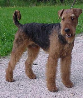 Foto von Airedale Terrier