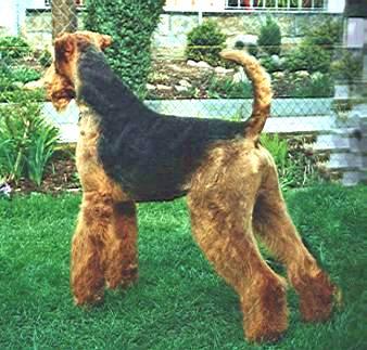 Airedale Terrier auf dem Rasen