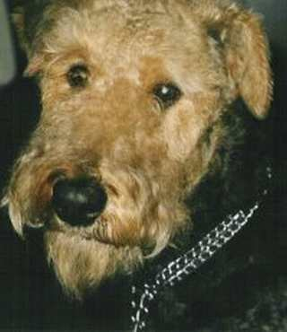 Airedale Terrier Portrait