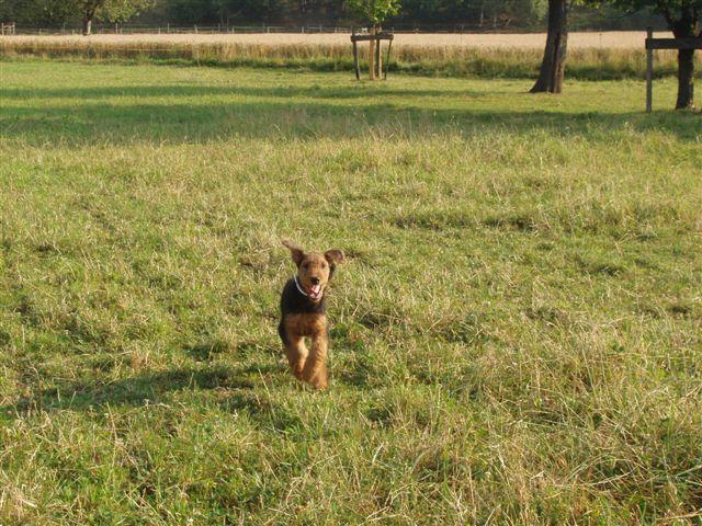 Airedale Terrier beim spielen