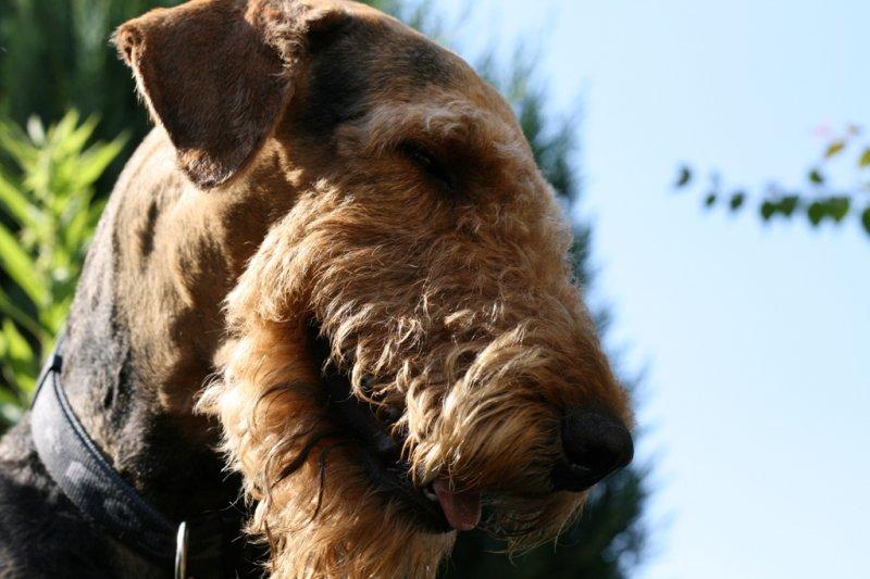Airedale Terrier Bilder