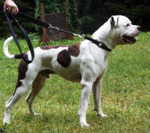 American Bulldog im Wald