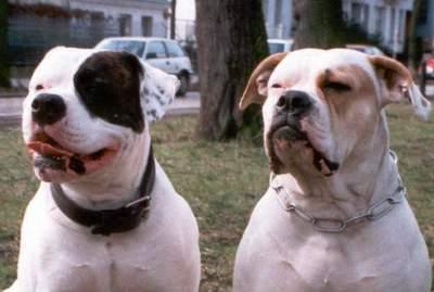 American Bulldog im 2er Pack
