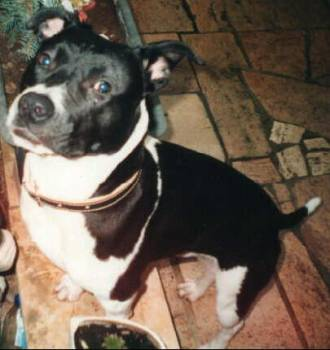 American Pitbull Terrier Männchen Fotos