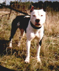 American Pit Bull Terrier im Wald