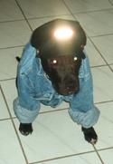 American Pit Bull Terrier Fotos