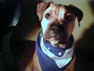 American Pit Bull Terrier Männchen