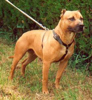 American Pitbull Terrier auf dem Rasen