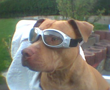 Fotos von American Pitbull Terrier