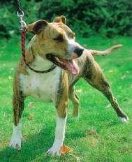 American Staffordshire Terrier auf dem Rasen
