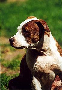 American Staffordshire Terrier Welpe Bilder