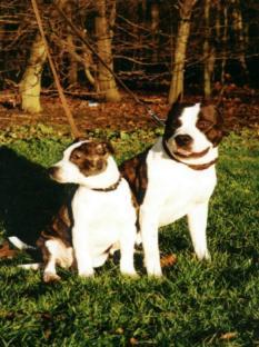 American Staffordshire Terrier Welpen Bilder